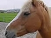 pferd_nikolaus